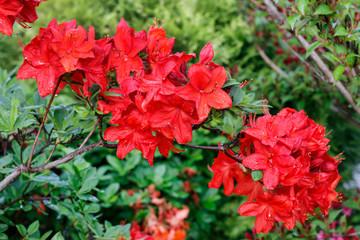 Aluminium Prints Azalea Beautiful red rhododendron (azalea) in the garden.