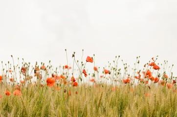 Photo sur Toile Poppy orange flowers on field
