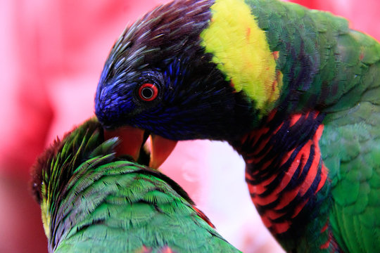 Jurong Bird Park, Singapore - AUGUST 06, 2019: Coconut lorikeet preening another lorikeet Psittaciformes Psittaculidae Trichoglossus T. haematodus