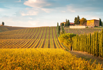Poster Toscane Golden vineyards in autumn at sunset, Chianti Region, Tuscany, Italy