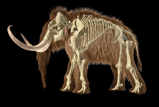 Woolly mammoth with skeleton superimposed, viewed from a side.