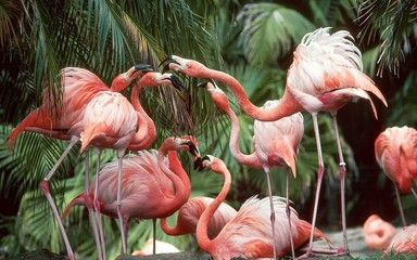 Photo sur Plexiglas Flamingo flamingo