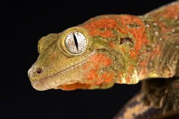Wall Mural - Mossy New Caledonian gecko (Mniarogekko chahoua)