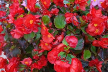花壇に咲いた赤いベゴニアの花