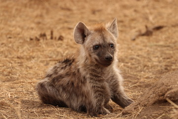 Fotobehang Hyena african hyena