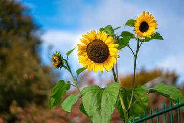 three sunflowers standing behind a green fence in front of a blue sky