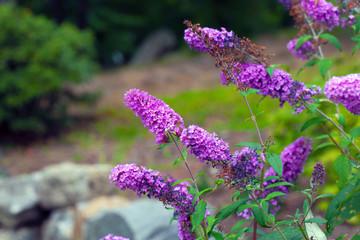 Purple Buddelia