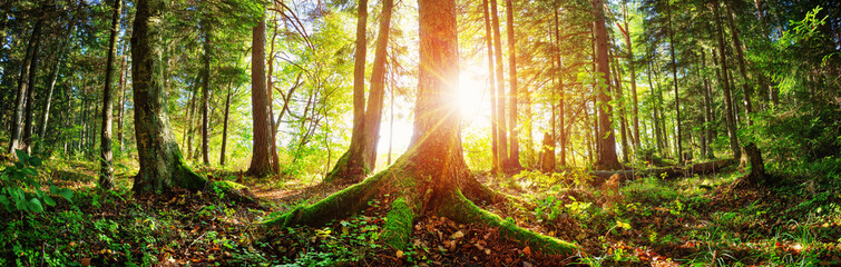 Wall Mural - Fir tree woods in early morning with beautiful sunlight