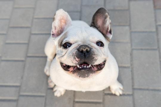 White bulldog sitting on ground