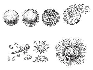 Evolution of animal Monera, the orange Monere, vintage engraving.