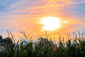 Maisfeld im Sonnenschein