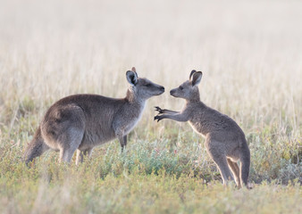 Grey kangaroos with young joey in outback Australia.