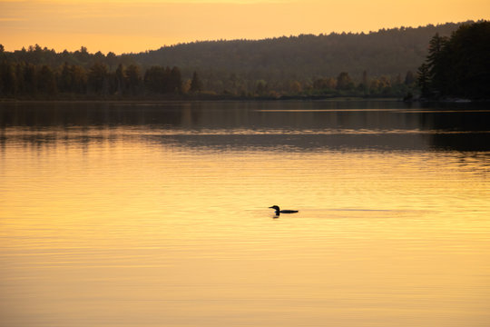 Lone loon in the golden evening glow on a lake in Algonquin Park