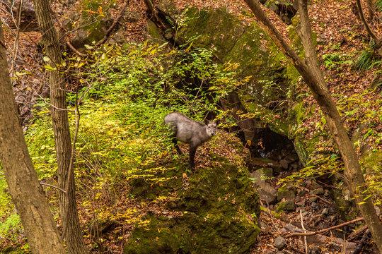 天然記念物ニホンカモシカ Natural monument Japanese antelope