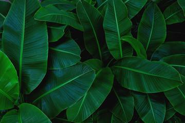 tropical banana leaf, abstract green banana leaf, large palm foliage nature dark green background