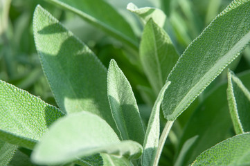 Fototapeta extreme close-up of sage leaves in a garden obraz