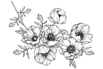 Sketch Floral Botany Collection. Anemone flower drawings. Black and white with line art on white backgrounds. Hand Drawn Botanical Illustrations.Vector.