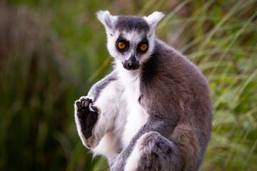 Kattas bewohnen trockene Regionen im südwestlichen Madagaskar