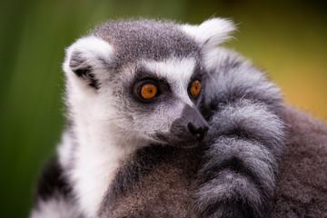 Die Kattas sind eine Primatenart aus der Gruppe der Lemuren