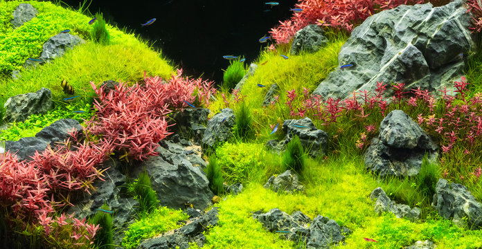 Beautiful tropical aqua scape, Nature Aquarium green plant an tropical colorful fish in aquarium fish tank.