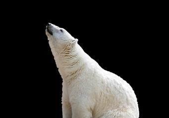 white polar bear isolate on black background