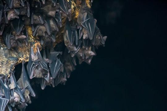 Lot of bats hanging in dark cave Pura Goa Lawah Temple on Bali, soft focus