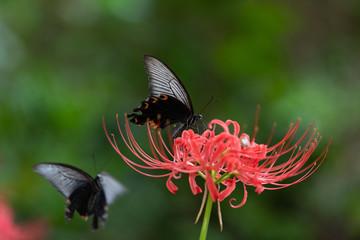彼岸花と黒い蝶