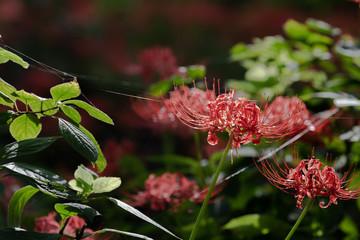 蜘蛛の巣と彼岸花