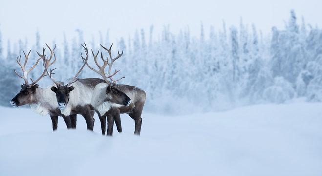 Big male deers in winter forest