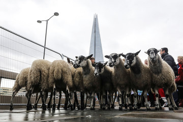 Sheep pass the Shard skyscraper as they are herded by Freemen of the City of London at the opening of the wool fair on London Bridge in London