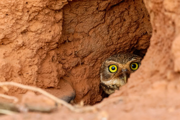 Close up  of a Burrowing Owl hiding in its clay nest on the ground, half face to camera, San Jose do Rio Claro, Mato Grosso, Brazil