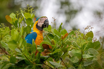 Blue-and-yellow macaw perching deep in the top of a tree with dense leaves, Lagoa das Araras, Bom Jardim, Mato Grosso, Brazil