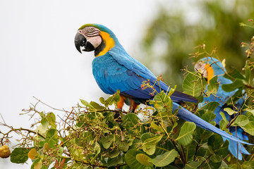 Blue-and-yellow macaw perching on a branch with leaves, side view, second in background, Lagoa das Araras, Bom Jardim, Mato Grosso, Brazil