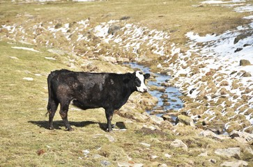Cow by Ditch