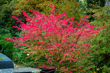 Colourful picture of a winged burning-bush (euonymus alatus) in autumn