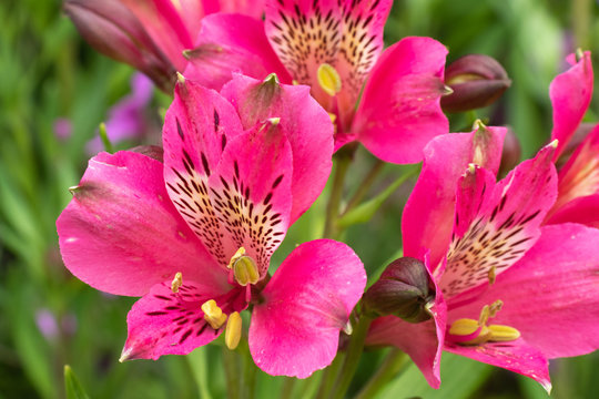 Flowers of cerise pink Inca lily Alstroemeria