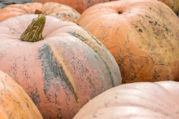 Riesenkürbisse nach der Ernte als Symbol für Halloween, Oktober und Thanksgiving