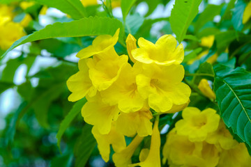 Close up of yellow tecoma stans with soft selective focus and leaf blur background. Royalty high quality free stock image of flower.