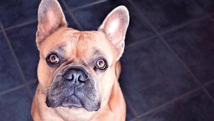 Poster Franse bulldog english bulldog with puppy eyes