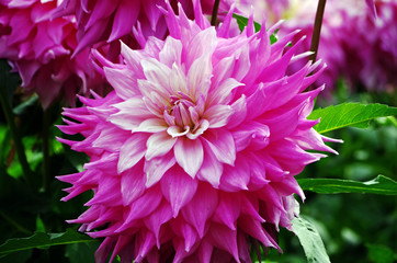 Cadres-photo bureau Dahlia Close up of a dahlia blossom in a flower garden