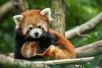 Zelfklevend Fotobehang Panda red panda has spotted you and is watching