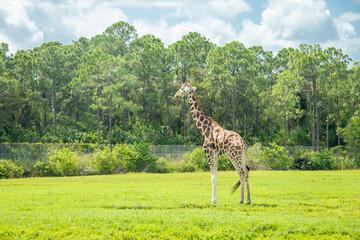 giraffes in the drive through zoo safari park