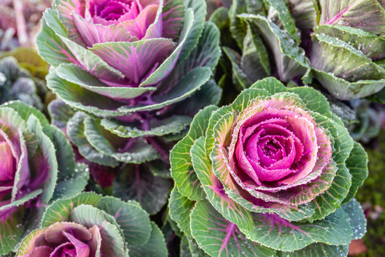 Wet oranamental cabbages from close