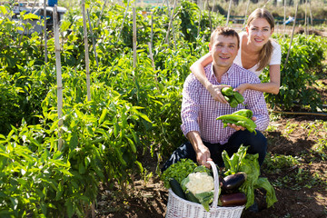 Fototapete - Positive couple picking  harvest of  green pepper  in garden