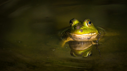 Bullfrog Frog in the pond