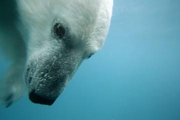 Ours blanc polaire nage sous l'eau au Canada