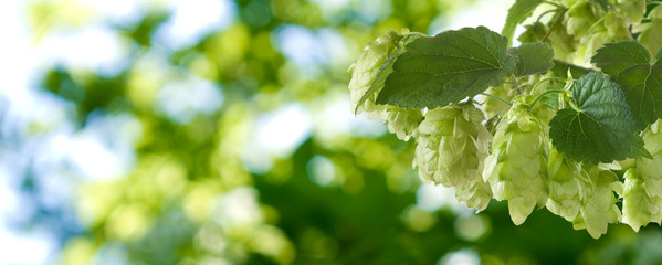image of branches hop on a green background closeup