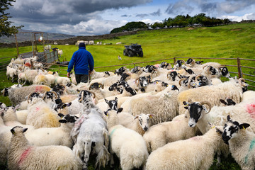 In de dag Schapen Farmer collecting group of Swaledale sheep for innoculation shots on a farm in Yorkshire Dales National Park in the valley of the River Swale