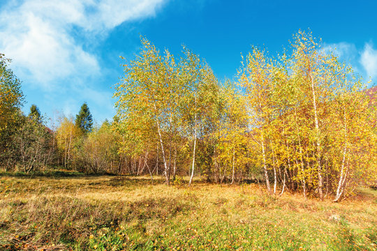 birch forest in mountains. sunny autumn scenery. trees in yellow foliage. blue sky with clouds