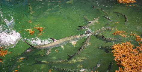 Tarpon feeding in shallow waters at Key West